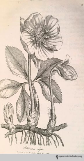 Hellebore from William Woodville's Medical Botany (1793).